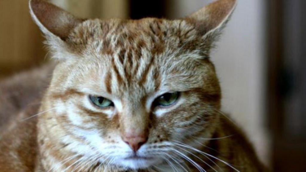 O que acontece quando gatos ficam estressados? - BBC Brasil