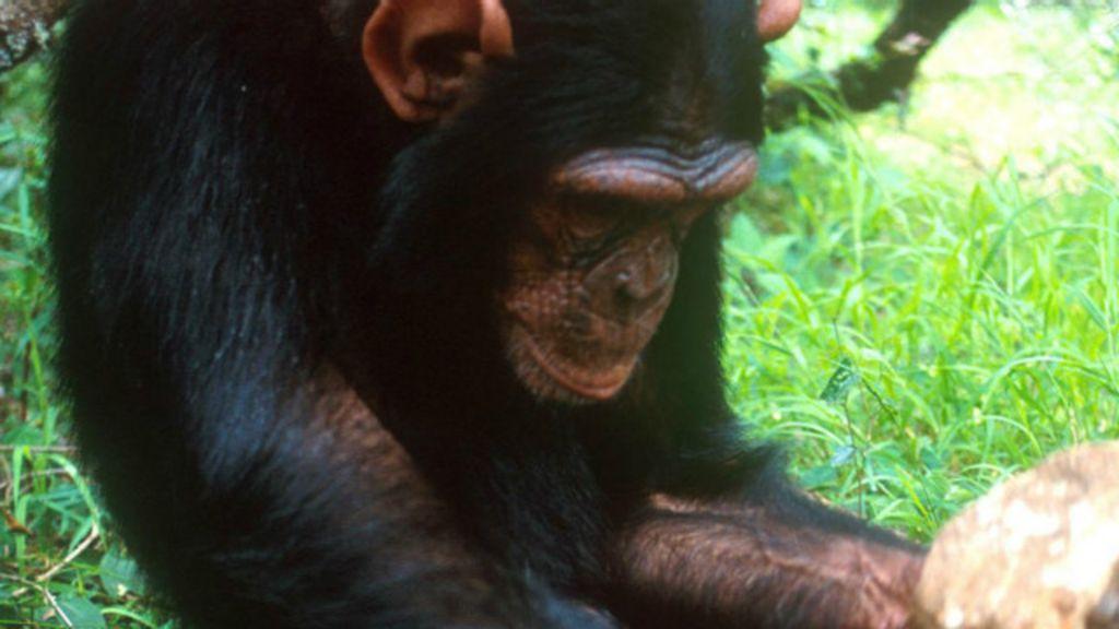 Com tecnologia própria, macacos entraram em sua ' Idade da Pedra ...