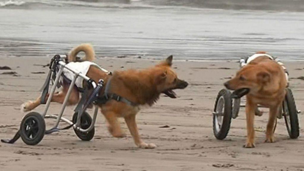 Cães deficientes vão à praia no Peru - BBC Brasil