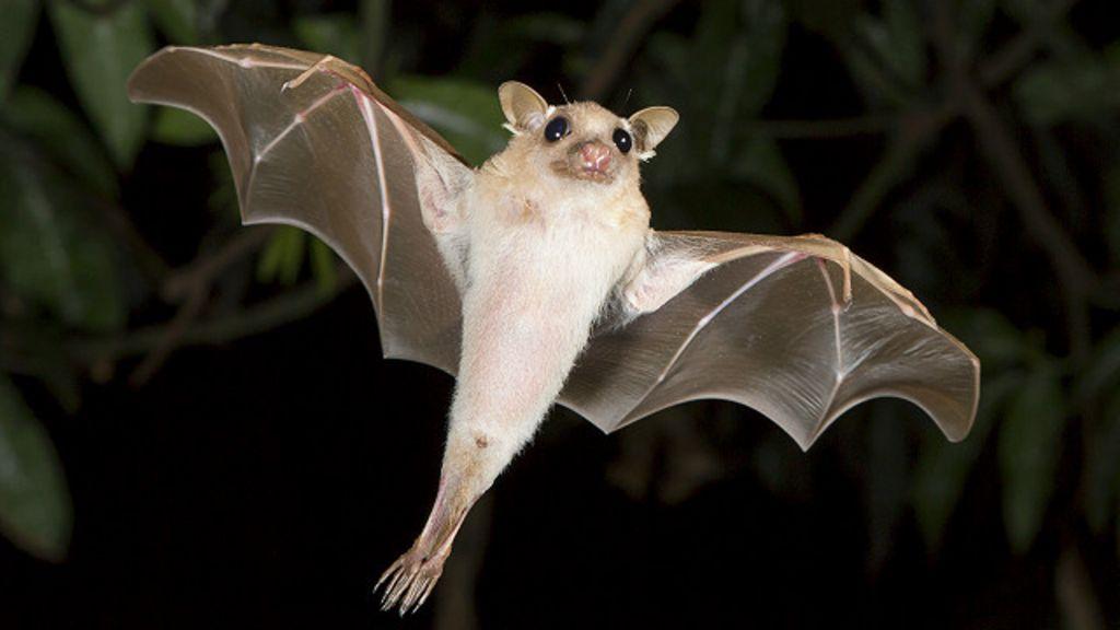 Entenda por que o trabalho dos morcegos pode 'valer' US$ 1 bilhão ...