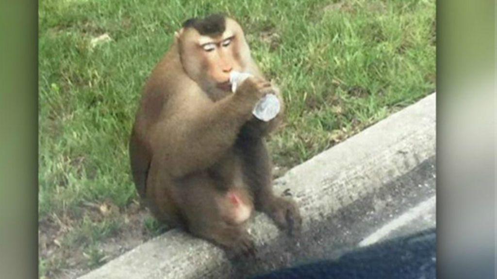 Macaco fugitivo danifica carro de polícia nos EUA - BBC Brasil
