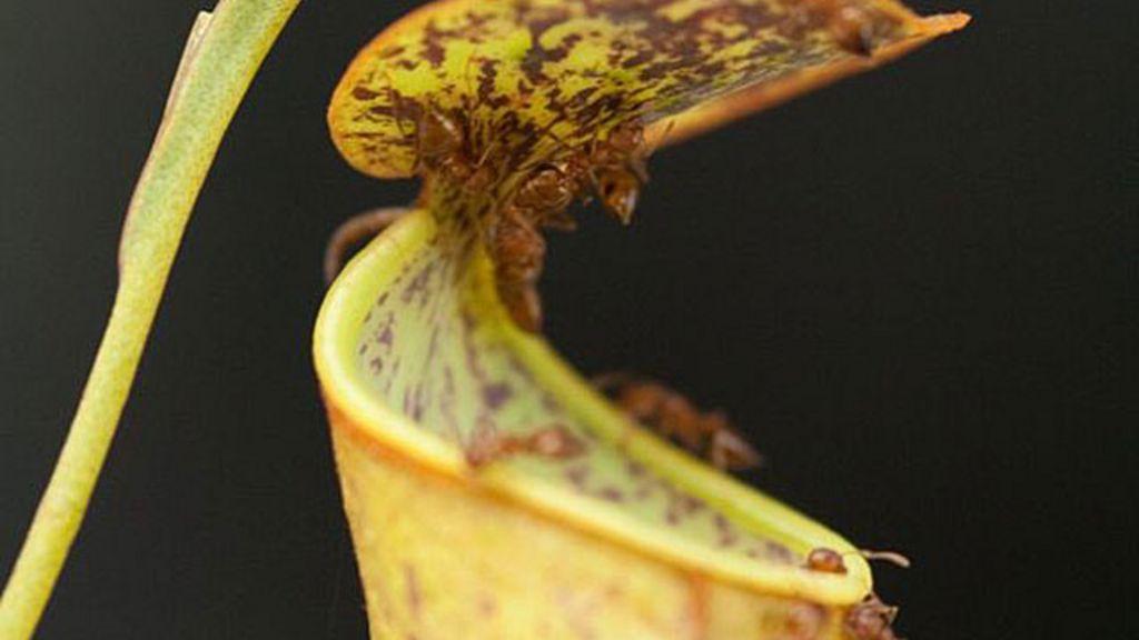 Cientistas desvendam truque de planta carnívora que usa chuva ...
