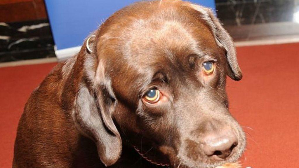 Cachorro chamado 'Gatilho' dispara contra própria dona - BBC Brasil