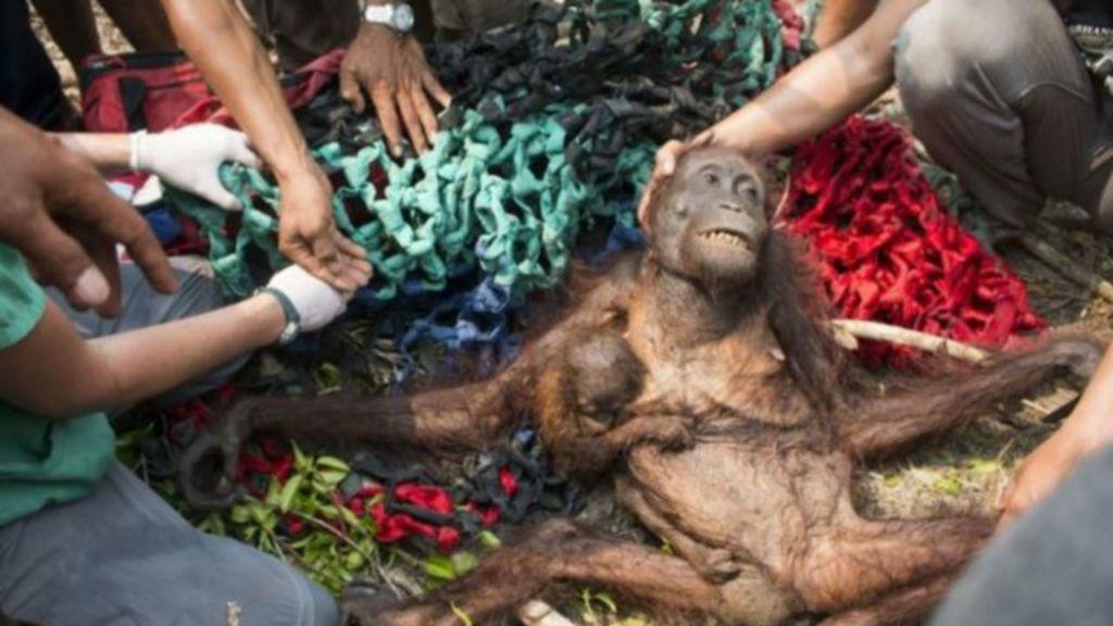 Mãe orangotango e filhote são salvos após apedrejamento na ...