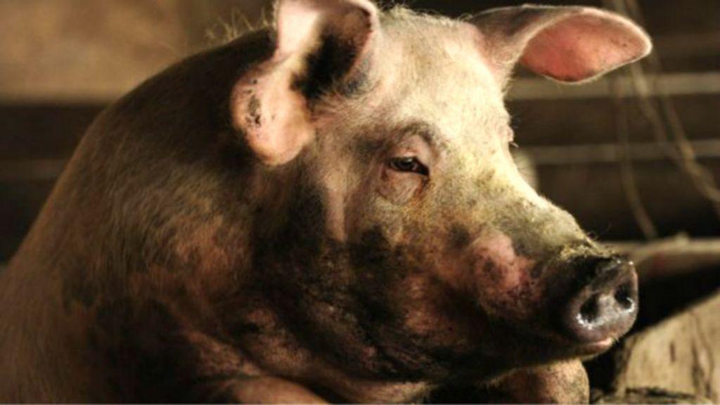 Por que o uso de antibióticos na criação de animais ameaça a ...