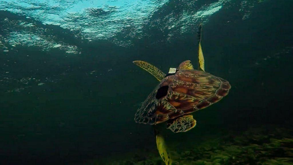 Câmera em tartaruga alerta para fragilidade de vida marinha - BBC ...