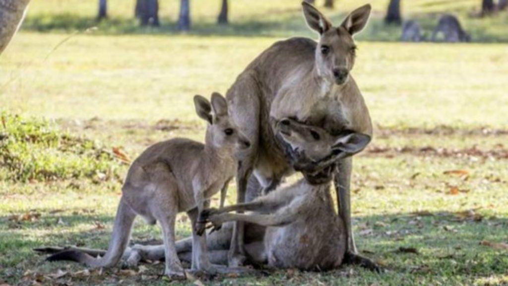 Como cientistas explicam ' luto' de canguru que comoveu a Austrália ...