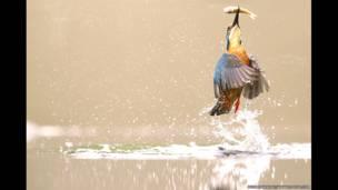 Martín Pescador en el condado de Worcestershire, Reino Unido