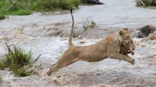 La leona salta con cuidado sobre el río con el cachorro en sus mandíbulas