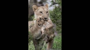 शेरनी और उसका बच्चा नदी पार करने के बाद पूरी तरह से भीगा हुआ है