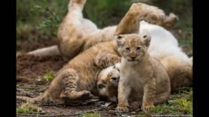 नदी पार करने के बाद शेरनी और उसका बच्चा बाकी परिवार के साथ