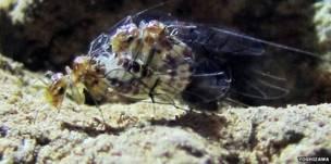 Insecto del género Neotrogla