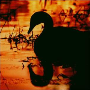 Cisne en un río al atardecer