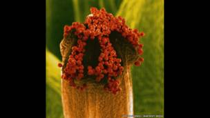 Granos de polen de una flor de uña de caballo