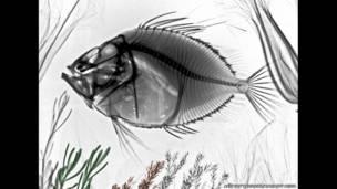 Radiografía a color de un pez de San Pedro. Arie van't Riet / SPL / Barcroft Media