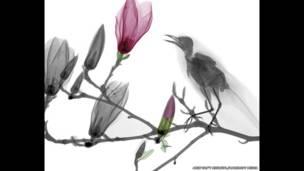 Radiografía a color de un mirlo sobre la rama de un árbol de magnolia. Arie van't Riet / SPL / Barcroft Media