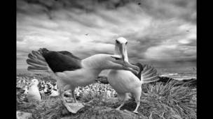 Albatros de ceja negra. Vaclav Silha.