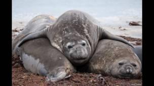 Elefantes marinos descansan en la Sea Lion Island. Tamas Farkas.