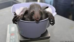 Un bebé lémur en una balanza. David Haring / Duke Lemur Centre