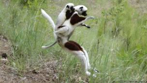 Sifaca de Coquerel con su cría dando un salto. David Haring / Duke Lemur Centre