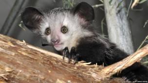 Pequeño lémur aye-aye. David Haring / Duke Lemur Centre