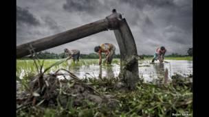 زراعة الأرز، سوجان ساركار.