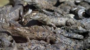 Los cocodrilos de la granja de los Rosenthal.
