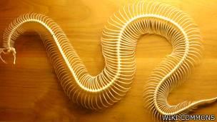Esqueleto de una serpiente