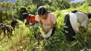 Erradicación de cultivos de coca en los Yungas