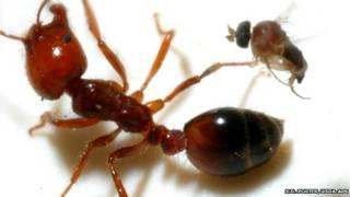 Hormiga roja de fuego junto a una mosca decapitadora