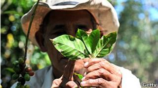 Recolector de café señalando el hongo de la roya