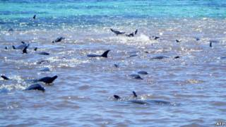 Dolfin terdampar di Australia