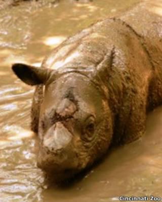 ipuh sumatra rhino