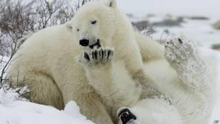 Osos polares jugando en la nive