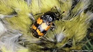 Escarabajo enterrador