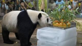 Panda | Crédito: AFP