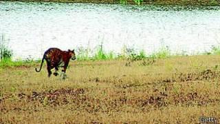 Tigres India