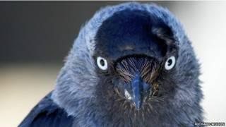 जैकडॉ पक्षी
