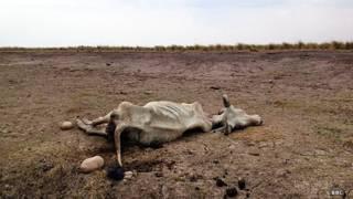 Una vaca yace muerta en los llanos de Casanare, Colombia