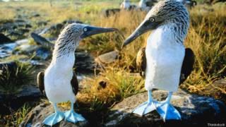 Piqueros de patas azules de Galápagos