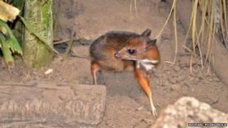 kijang tikus