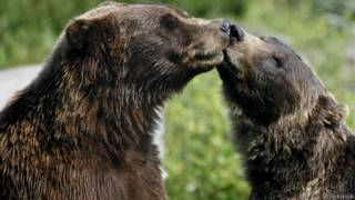 Beso de osos pardos