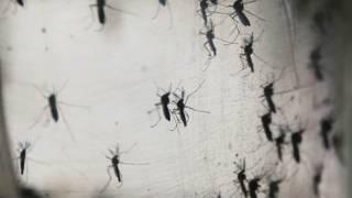 Mosquito transmisor del virus zika, Aedes Aegypti