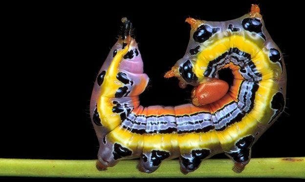 Dasylophia anguina - Samuel Jaffe