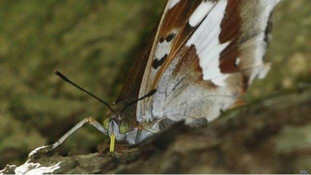 Butterfly nine