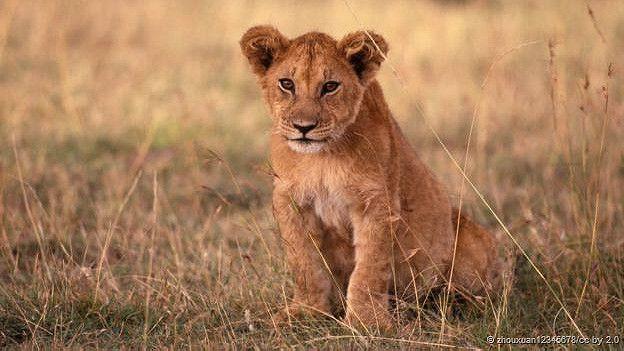 Cría de león