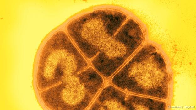 Deinococcus radiodurans (Foto: Michael J. Daly/SPL)