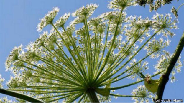 النباتات السامة الأكثر فتكا وخطورة على وجه الأرض 150824193134_earths_most_poisonous_plants__512x288_nigelcattlinalamy