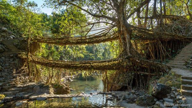 印度橡胶树(印度榕)的树干上会长出强壮而柔韧的次生根.