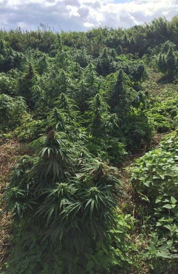 Cảnh sát phát hiện thấy hơn 150 cây cần sa trên mảnh đất bỏ hoang này.